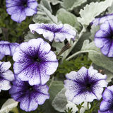 Purple petunia on grey wormhood background in the garden Stock Photo