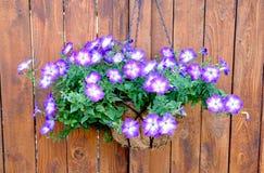 Purple Petunia Hanging Basket. Purple and White Petunias in a Coir Lined Hanging Basket Royalty Free Stock Image