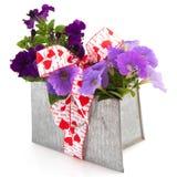 Purple Petunia plants as present Stock Photos