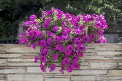 Purple petunia in a pot royalty free stock photos