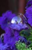 Purple petunia and soap bubble Stock Photos
