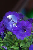Purple petunia and soap bubble Royalty Free Stock Photography
