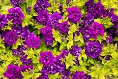 Purple petunia - surfinia Royalty Free Stock Photos