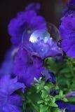 Purple petunia and transparent soap bubble Stock Photo