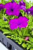 Purple Petunias Royalty Free Stock Photos