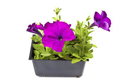 Purple Petunias Royalty Free Stock Images