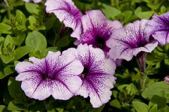 Purple Petunias royalty free stock image