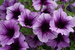 Free Purple Petunias Stock Image - 71511901