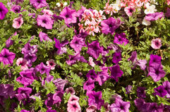Purple Petunias background Stock Photo