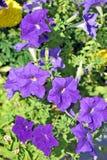 Purple petunias Stock Images