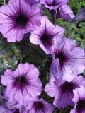 Purple petunias close-up Stock Photos