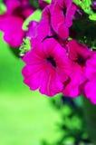 Purple petunias Stock Photos