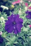 Purple petunias flower Stock Image