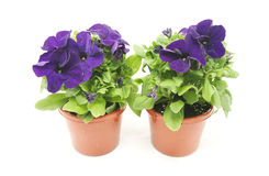 Purple petunias Stock Photography