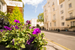 Purple petunias on a sunny street Royalty Free Stock Photos