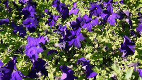 Purple petunias swaying in the breeze. HD video footage static camera stock footage