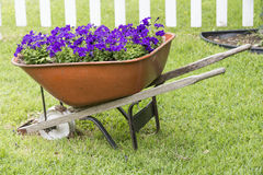 Purple Petunias in a wheelbarrow. Sitting in front yard Stock Photo