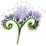 Purple phacelia floral botanical flower. Watercolor background illustration set. Isolated phacelia illustration element. Purple phacelia floral botanical flower royalty free stock images