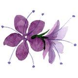 Purple phacelia floral botanical flower. Watercolor background illustration set. Isolated phacelia illustration element. Purple phacelia floral botanical flower royalty free stock photo