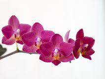 Purple Phalaenopsis orchid. Beautiful purple Phalaenopsis orchid by the window with natural light royalty free stock images