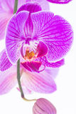 Purple Phalaenopsis orchid extreme close-up Royalty Free Stock Images