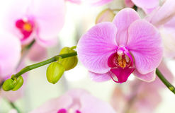 Purple phalaenopsis orchid flower Royalty Free Stock Images
