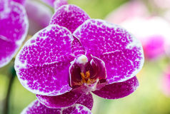 Purple phalaenopsis orchid flower Royalty Free Stock Photos