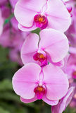 Purple phalaenopsis orchid flower Stock Images