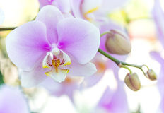 Purple phalaenopsis orchid flower Stock Images