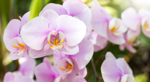 Purple phalaenopsis orchid flower Stock Photos