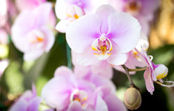 Purple phalaenopsis orchid flower Royalty Free Stock Photo