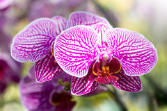 Purple phalaenopsis orchid flower Stock Photo