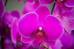 Purple phalaenopsis orchid flower Royalty Free Stock Photography