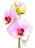 Purple phalaenopsis orchid. Purple orchid isolated on white background Royalty Free Stock Image