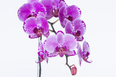Purple Phalaenopsis Orchids close-up Royalty Free Stock Images