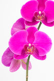 Purple Phalaenopsis orchids close up Stock Photography