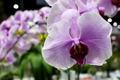Purple of Phalaenopsis Orchids Flower with green orchids leaf background. At Garden Fair and Vegetation Contest 2017 in Bangkok Thailand Stock Photo