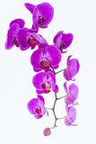 Purple Phalaenopsis Orchids Stock Photos