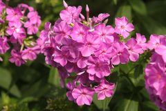 Purple phlox blooming in flowerbed Stock Image