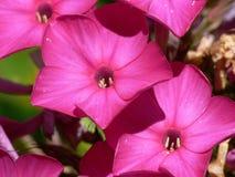 Purple phlox close-up. Close-up shot of the purple phlox inflorescence Royalty Free Stock Photos