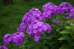 Purple phlox Stock Photography