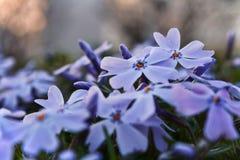 Purple Phlox Flowers Royalty Free Stock Images