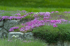 Purple phlox flowers in landscape design Stock Photography