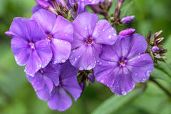 Purple phlox after rain Royalty Free Stock Images