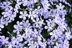 Purple  phlox subulata Royalty Free Stock Photography