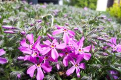 Purple phlox subulata. small flowers bloom in late spring. And early summer royalty free stock photography