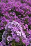 Purple phloxes Stock Photo