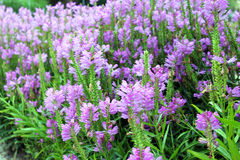 Purple physostegia, flowering plant of the mint family. Purple physostegia virginia, Lamiaceae family. Originally came from North America Royalty Free Stock Image