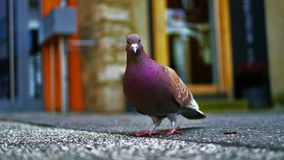 Purple Pigeon Standing on Black Concrete Surface Royalty Free Stock Photos