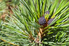 Purple pine cones on a branch royalty free stock images